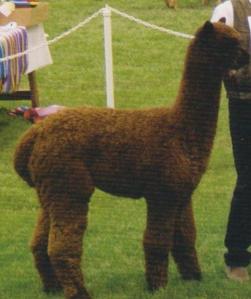 What do you think? Nice alpaca?